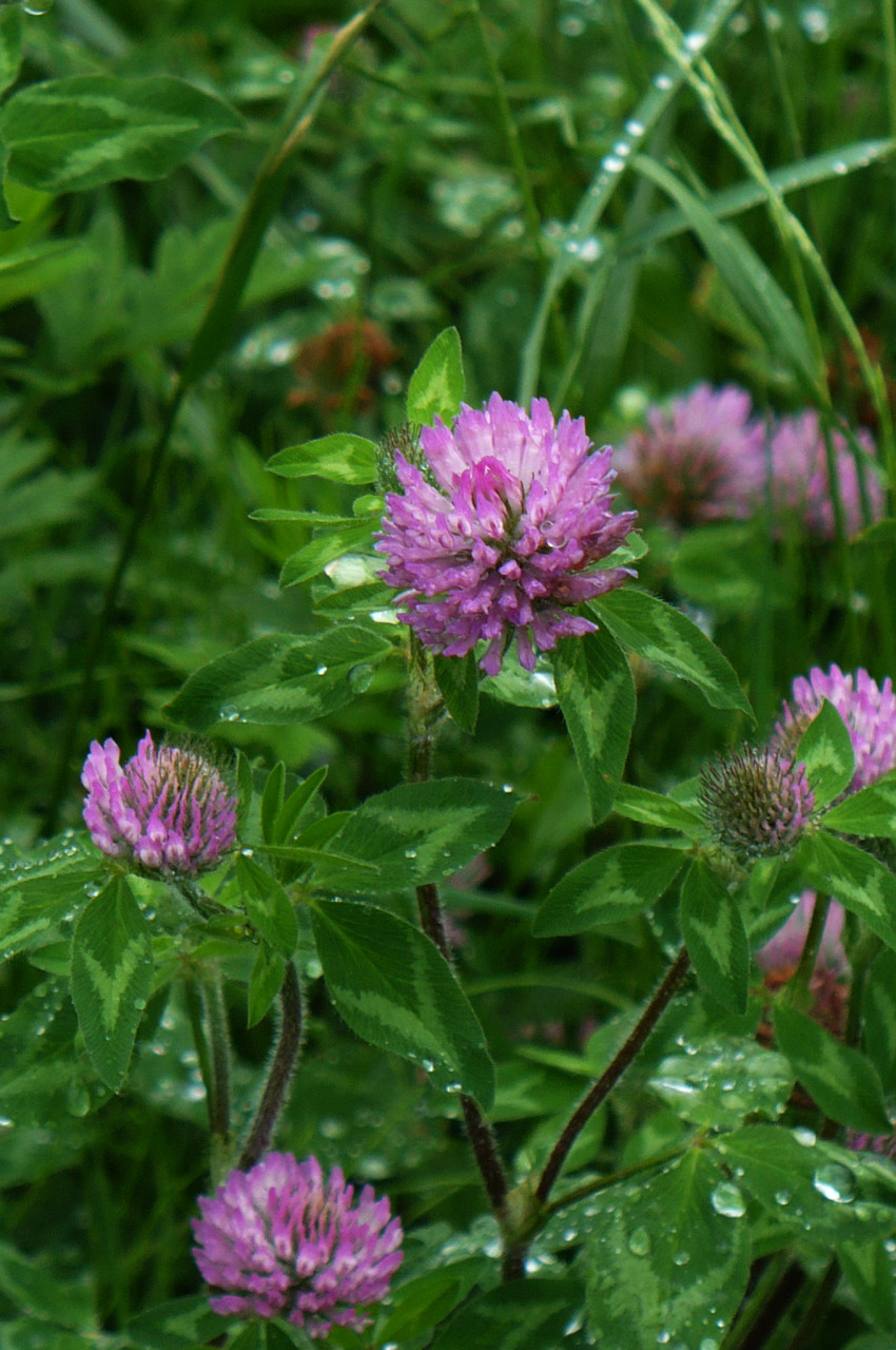 Red clover_1