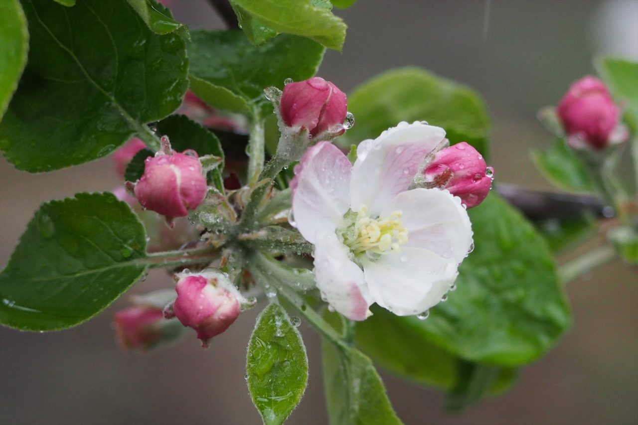 apple_015