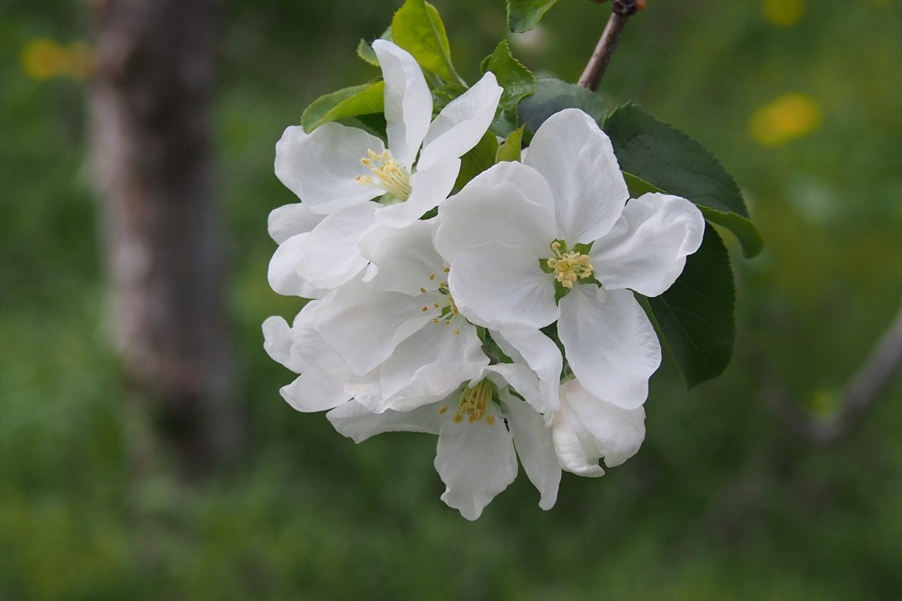 apple_white_01