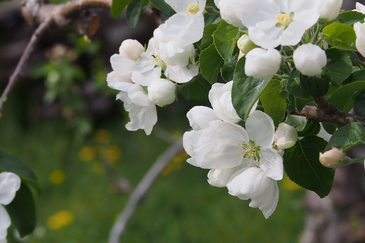 apple_white_02