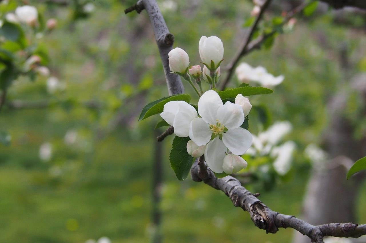 apple_white_04