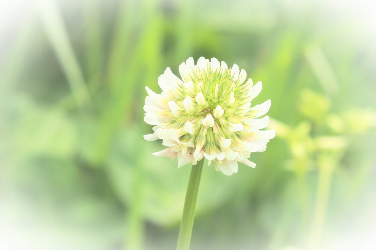 clover_09
