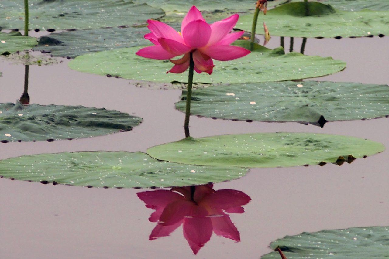 lotus_03
