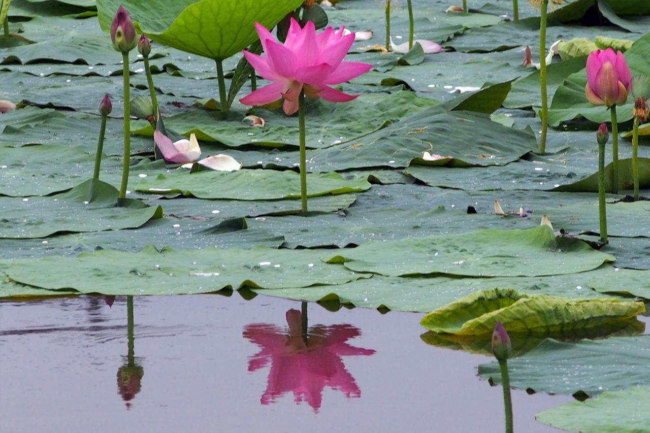 lotus_04