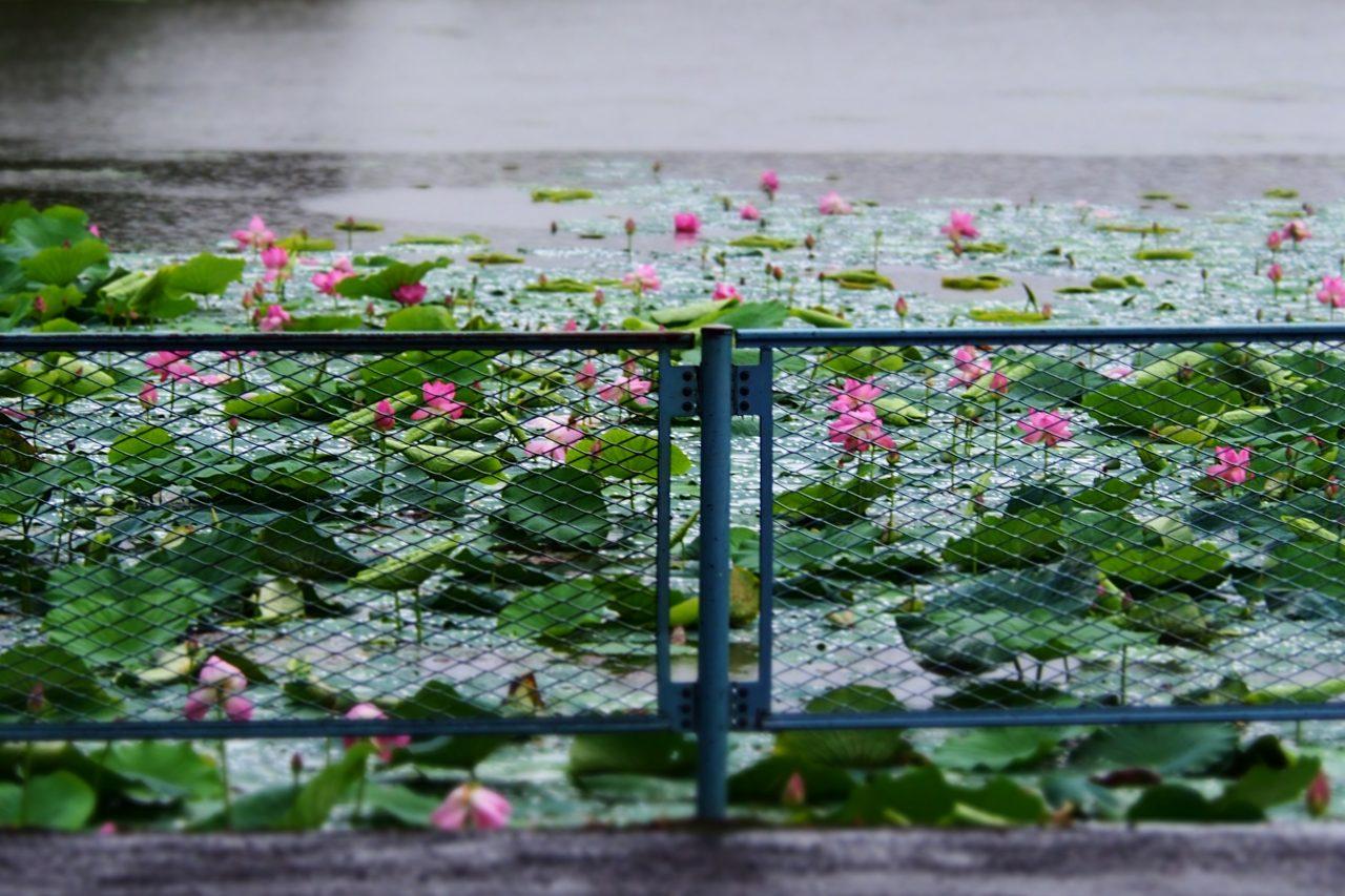 lotus_08