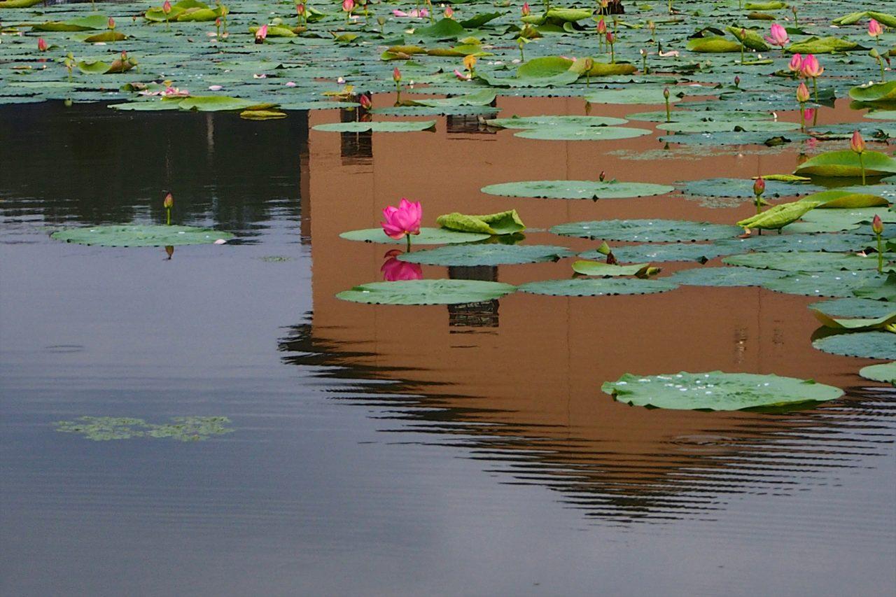 lotus_09_2