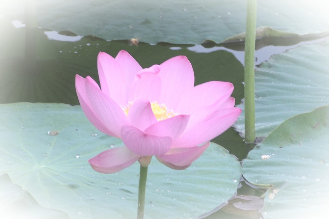 lotus_13