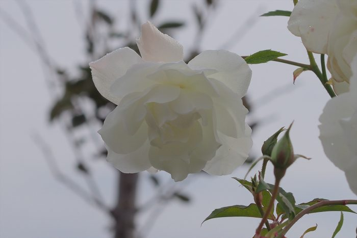 rose-in-winter_02
