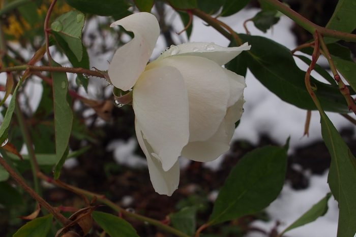 rose-in-winter_04