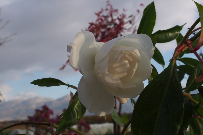 rose-in-winter_06