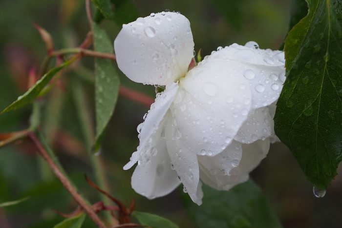 rose-in-winter_07