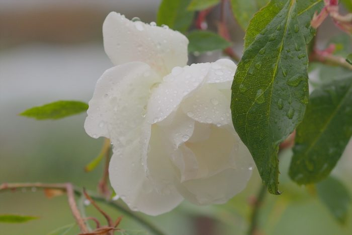 rose-in-winter_08