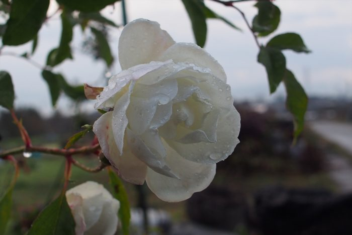 rose-in-winter_09