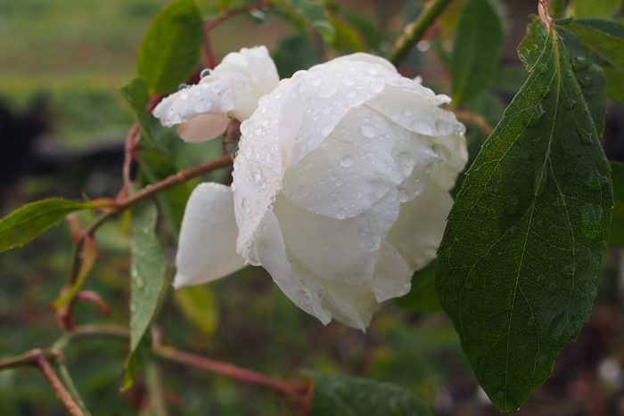 rose-in-winter_10