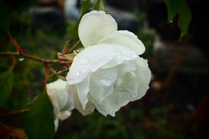 rose-in-winter_11