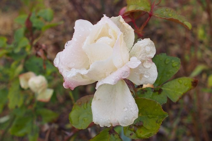 rose-in-winter_12