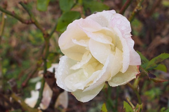 rose-in-winter_13