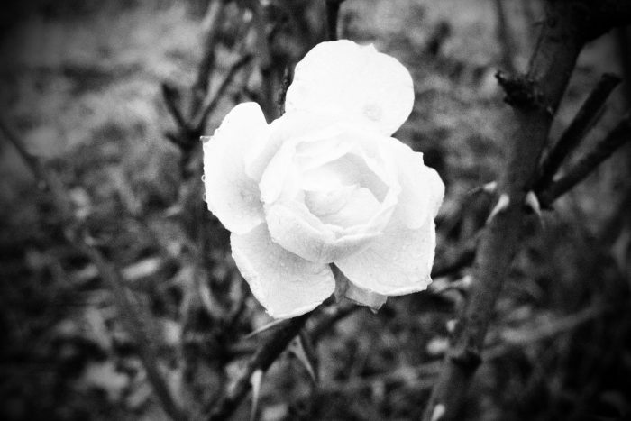 rose-in-winter_14