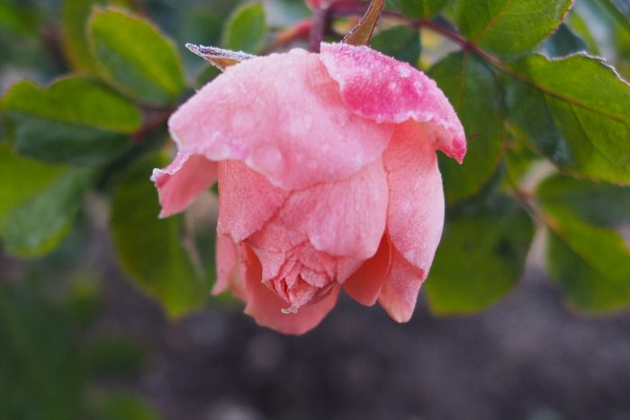 rose-in-winter_15