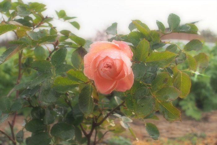 rose-in-winter_17