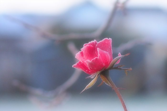 rose-in-winter_22