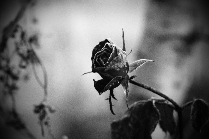 rose-in-winter_24