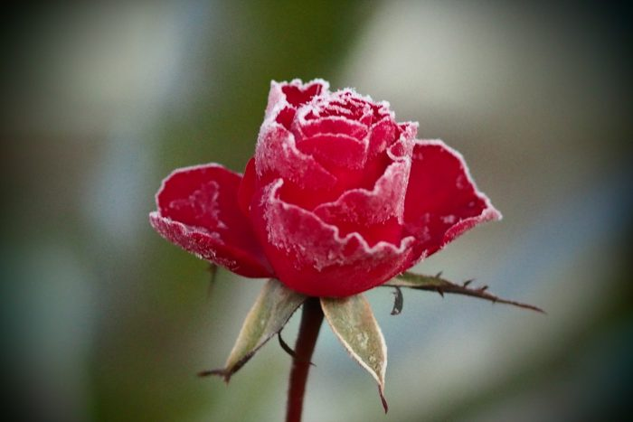 rose-in-winter_25