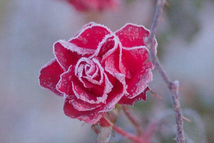 rose-in-winter_26