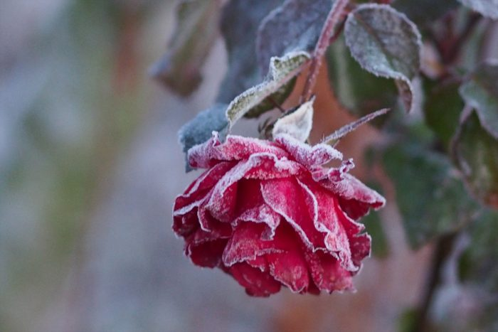 rose-in-winter_27