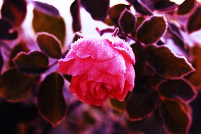 rose-in-winter_28