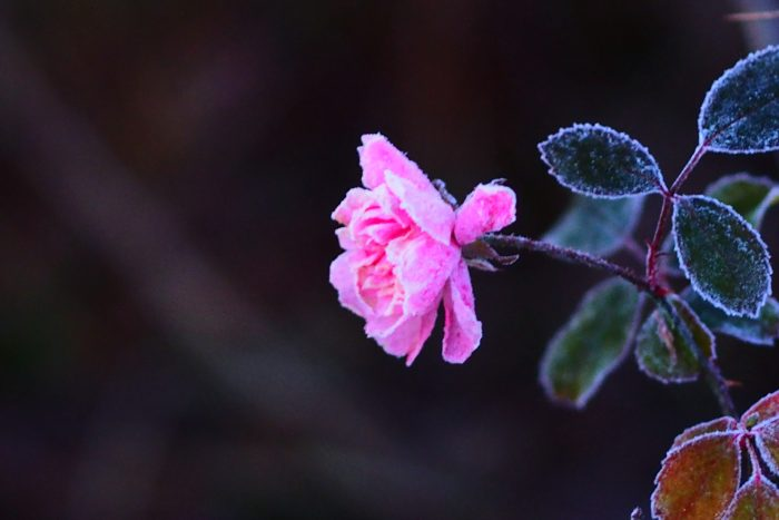 rose-in-winter_29