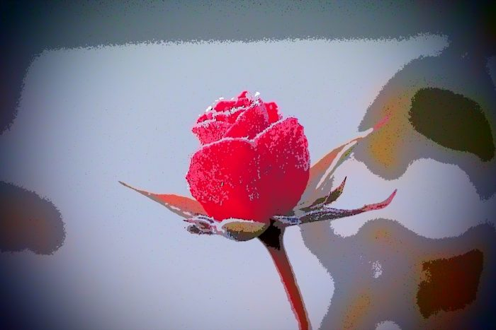 rose-in-winter_30