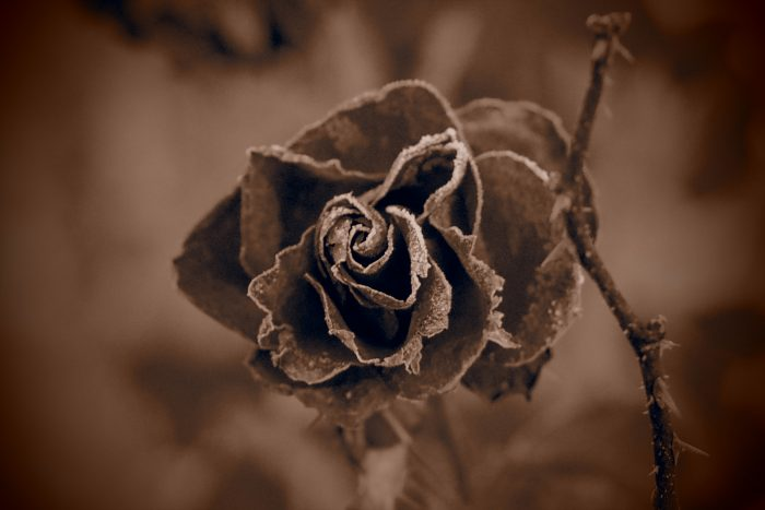 rose-in-winter_32